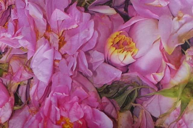 damask-rose1