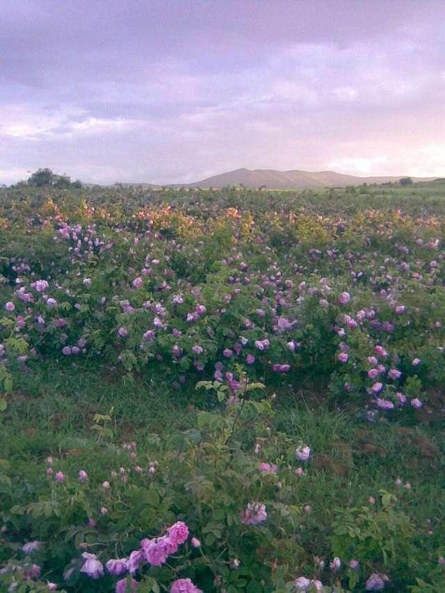 damask-rose3