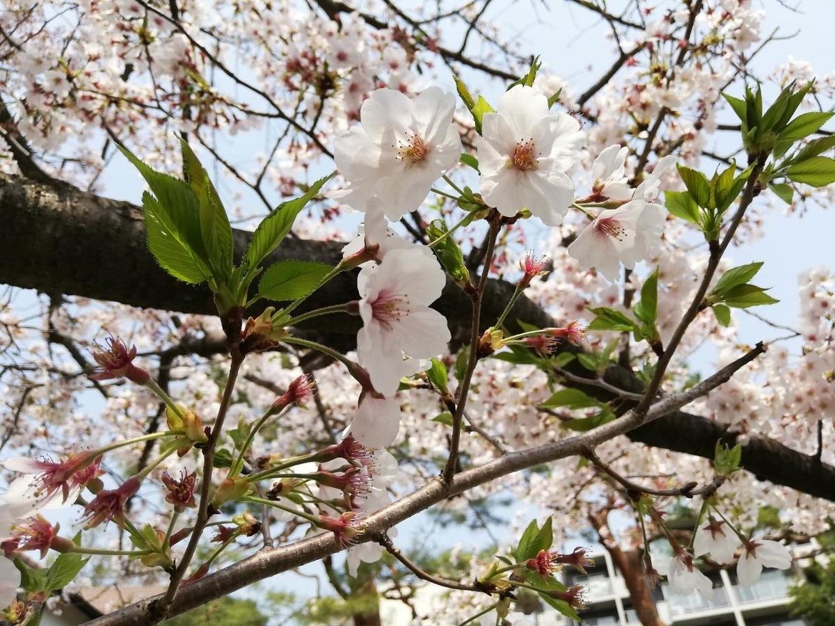 『石神井公園』の石神井池沿いにある桜のアップ写真