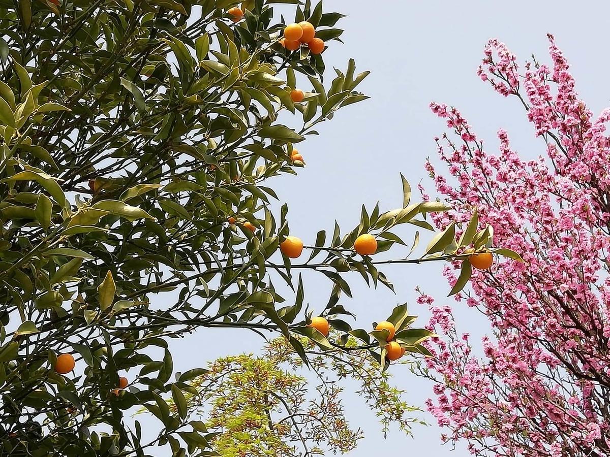 『石神井公園』の石神井池沿いにある桜とオレンジの写真
