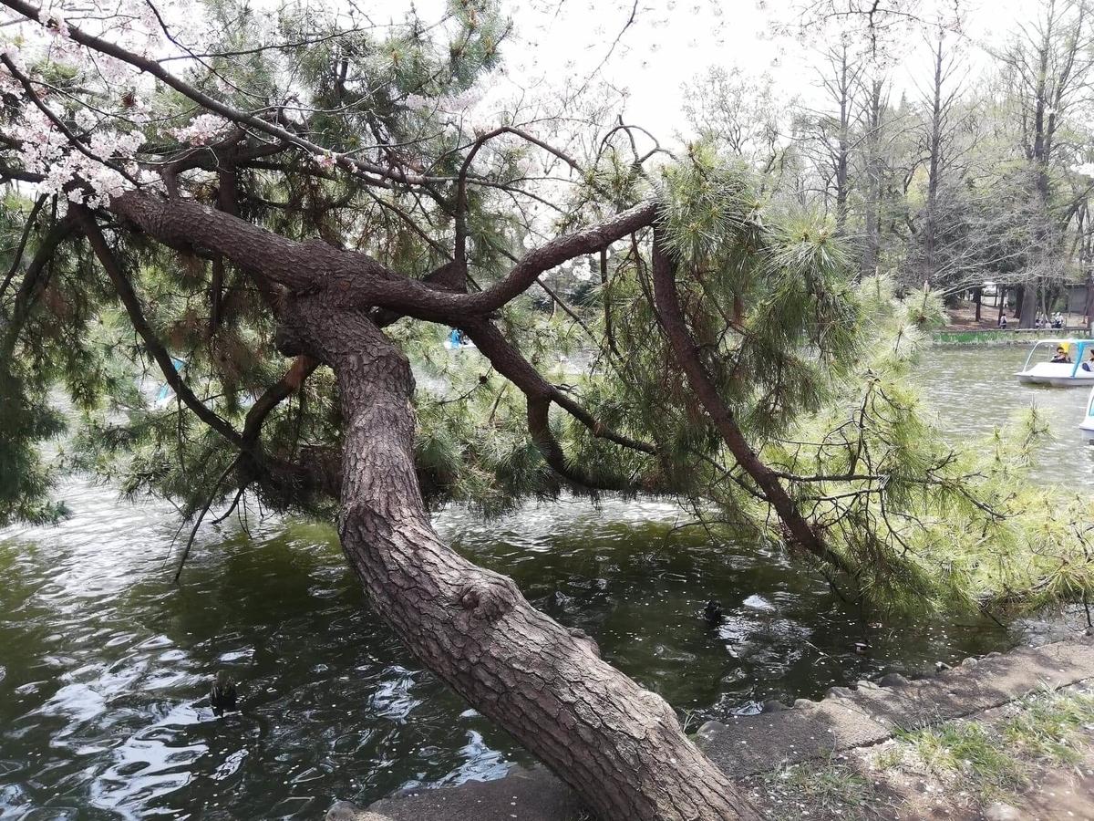 『石神井公園』の石神井池沿いにある松の木の写真