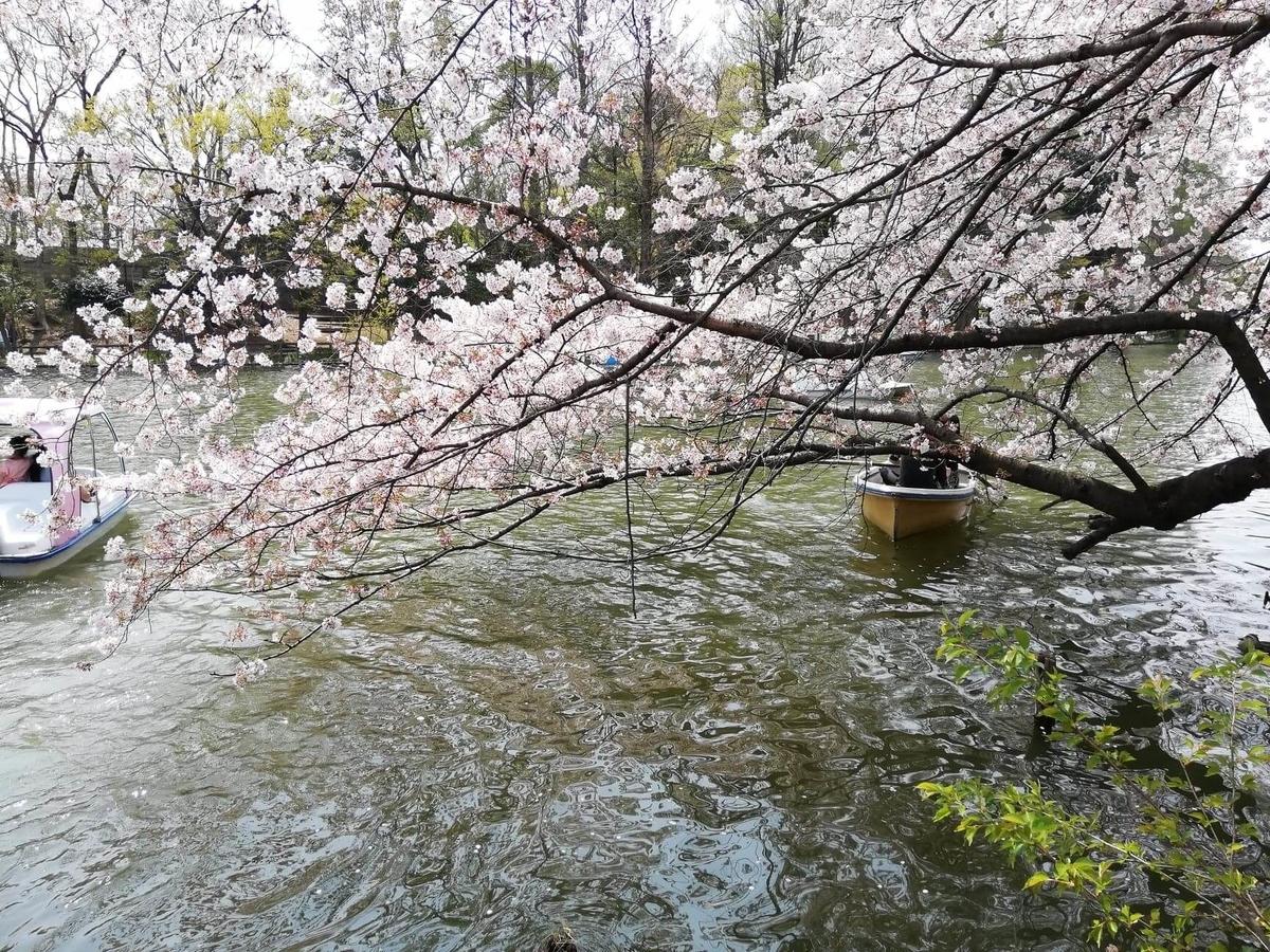 『石神井公園』の石神井池沿いにある桜の木の写真