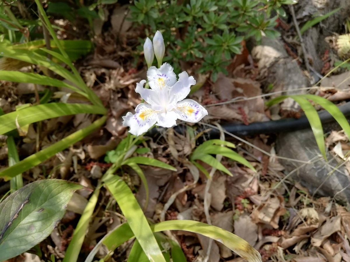 『石神井公園』の石神井池沿いに咲く小さい花の写真