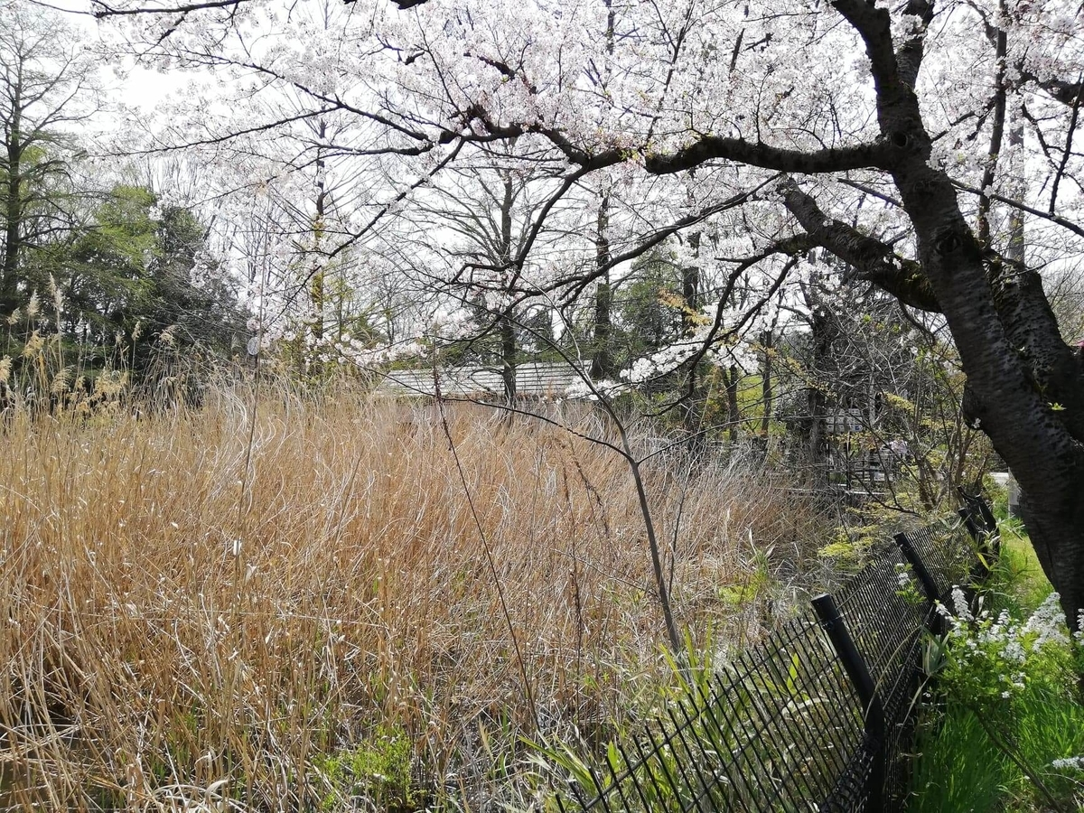 『石神井公園』の石神井池沿いにあるススキの写真