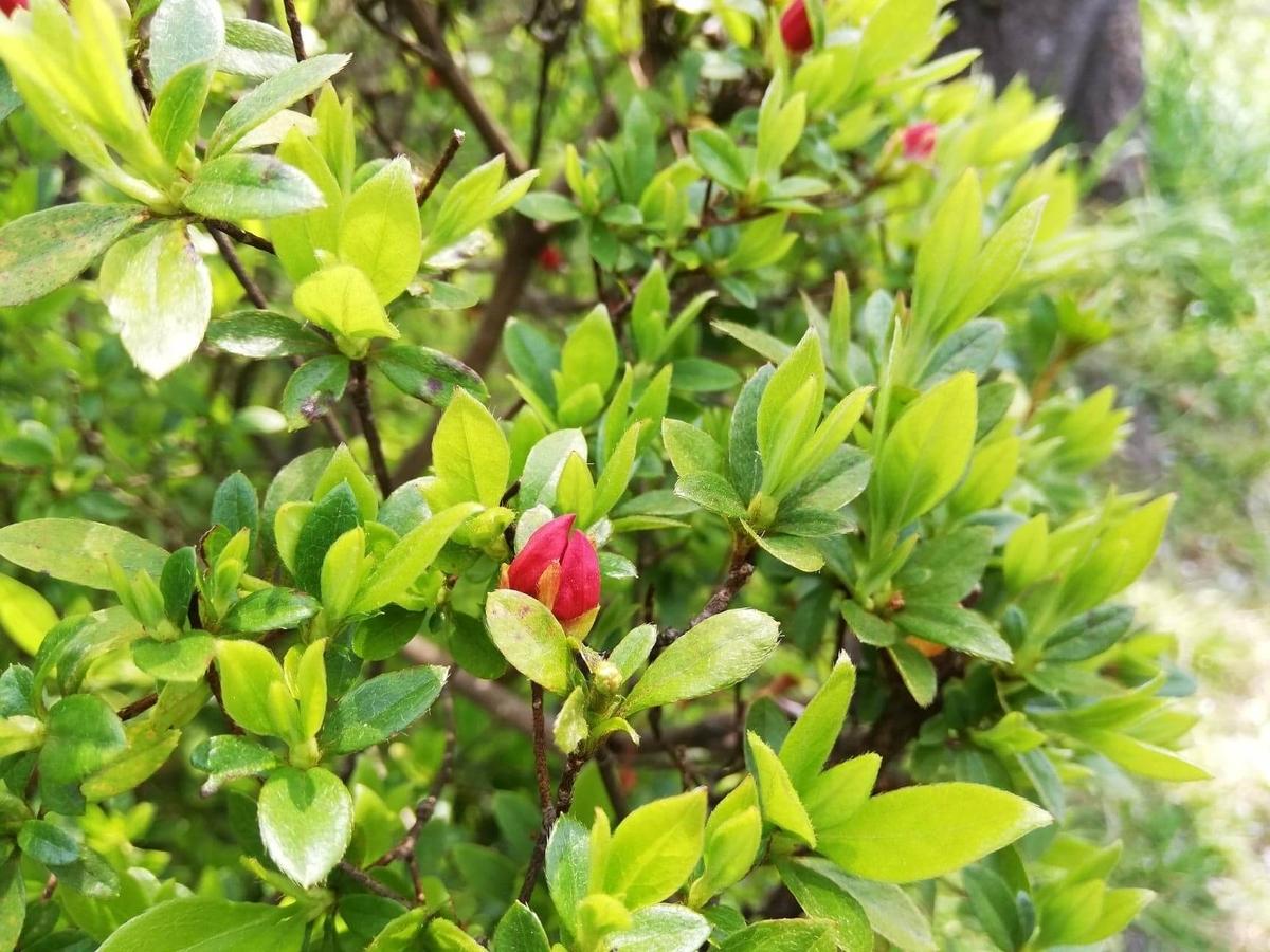 『石神井公園』の石神井池沿いに咲いてる花の写真