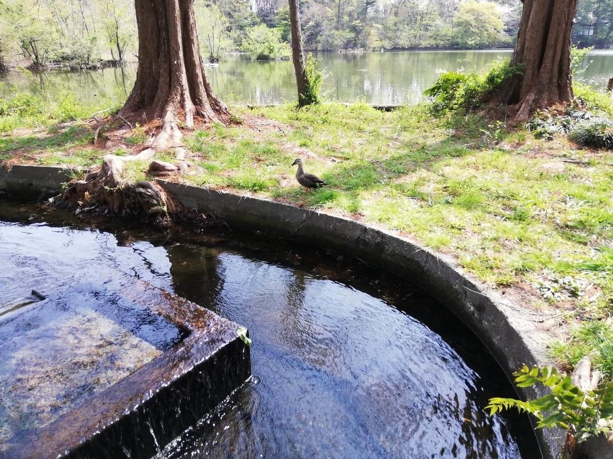 『石神井公園』の三宝寺池園内にいるカモの写真