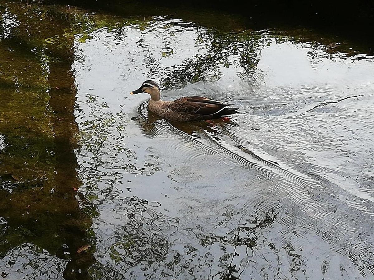 『石神井公園』の三宝寺池園内を泳ぐカモの写真