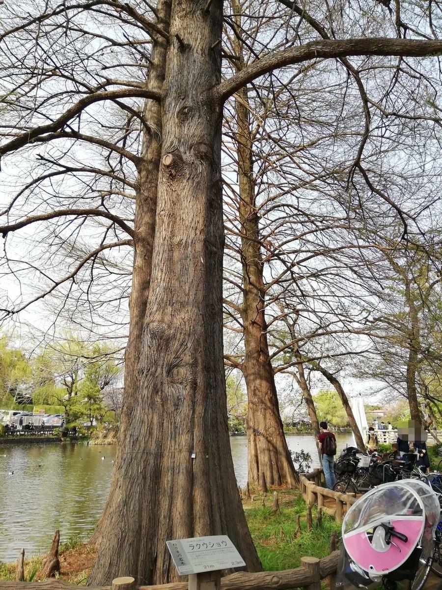 『石神井公園』の石神井池沿いにあるラクウショウの写真