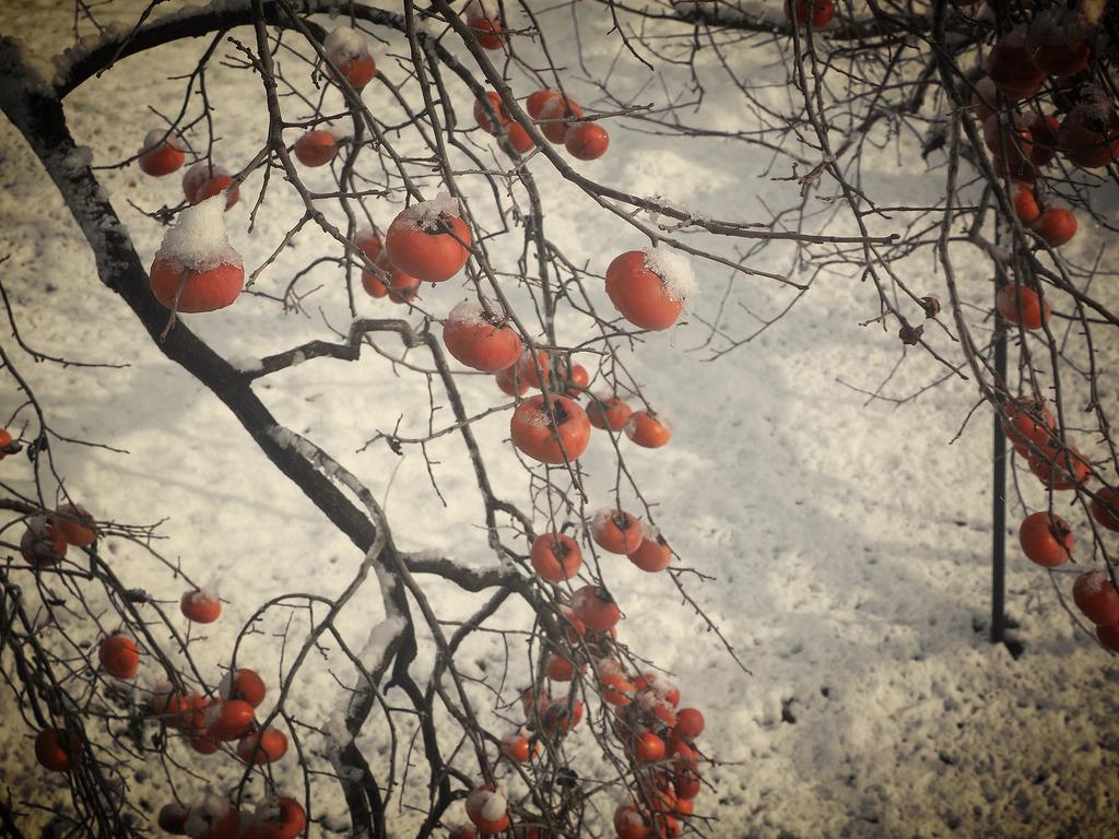 実家の庭の柿と雪