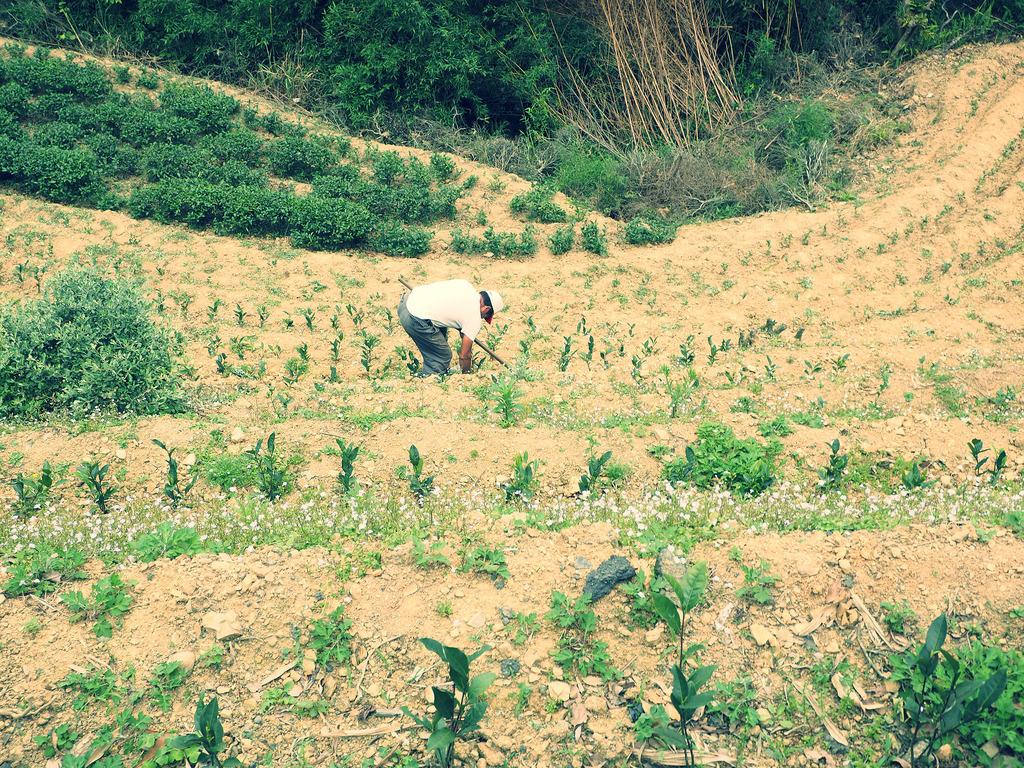 道沿いの畑に茶の木を植える茶農家さん