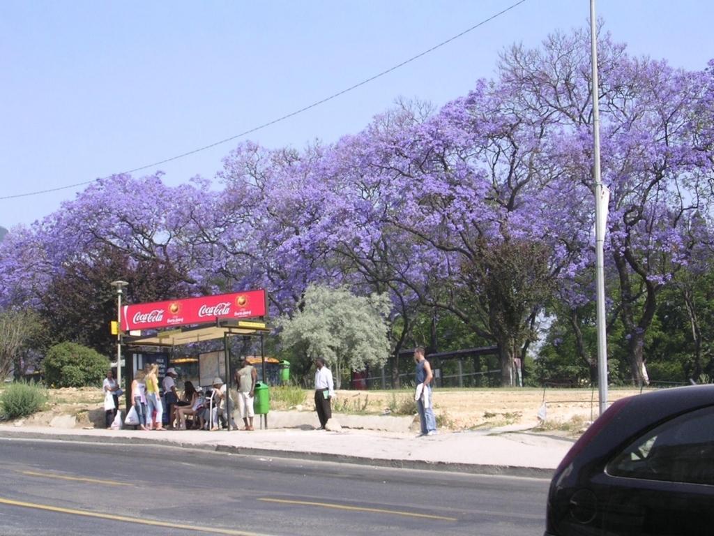 紫色の花を咲かせるジャカランダ