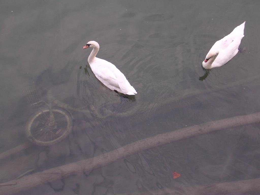 ソーヌ川に沈んだ自転車と白鳥