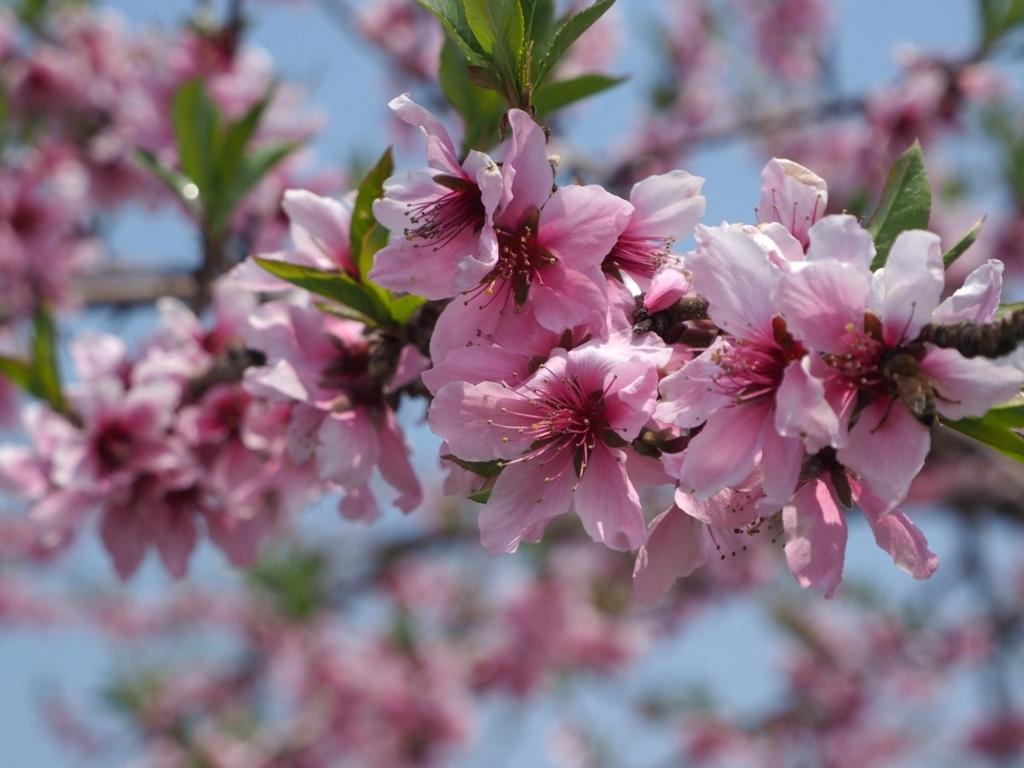 春・桃の花