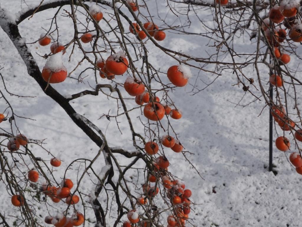 冬・熟れる柿の実