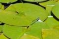 [植物][葉][トンボ][水]201805010