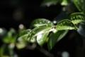 [植物][葉][水滴]201805014