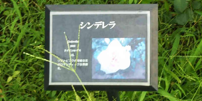 『シンデレラ』というバラ