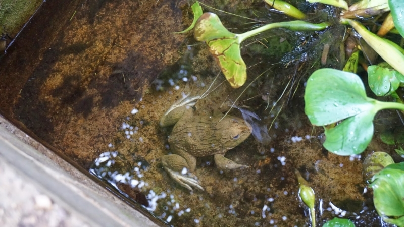 laongam_experimental_farm_frog