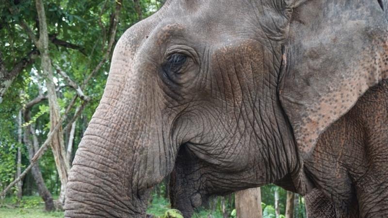 salavan_elephant