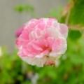 [FUJIFILM X20]ロサ・ケンティフォリア・ヴァリエガータ( Rosa centifolia variegata)