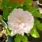 ロサ・ケンティフォリア・ヴァリエガータ( Rosa centifolia variegata)