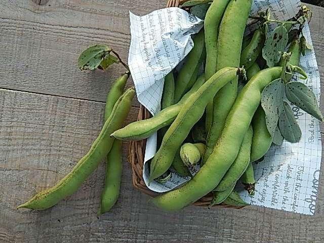 採りたての空豆
