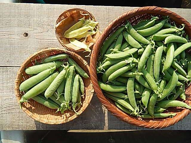 収穫したての豆たち