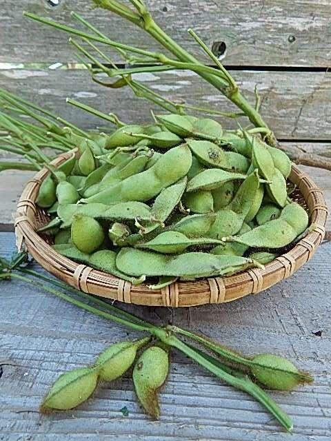 今が旬の黒豆の枝豆