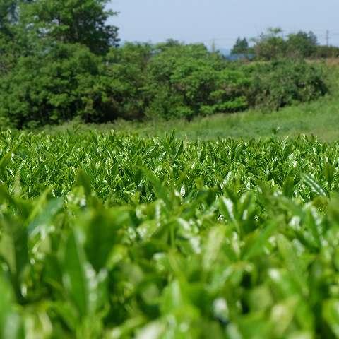 新芽が出たばかりのお茶畑