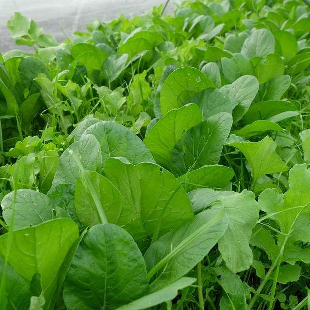 畑の小松菜の写真