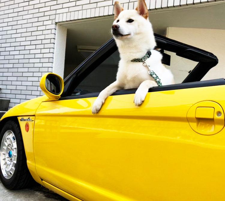 オープンカーの助手席から首を出す犬の写真