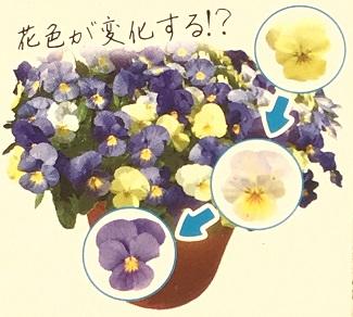 花色が変化するビオラ 天使の誘惑