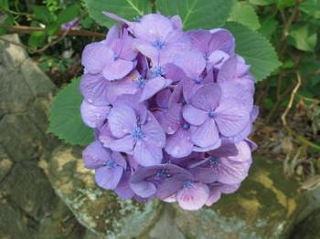 薄紫色の紫陽花・写真