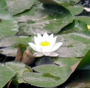 0709_蓮の花.jpg
