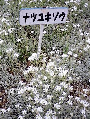 0624_ナツユキソウ.jpg