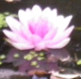 0711_ピンクの蓮の華.jpg