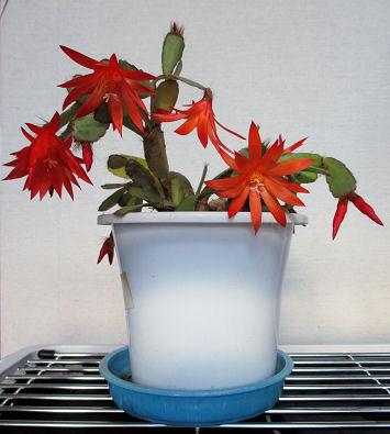 0211_仙人掌の花.jpg