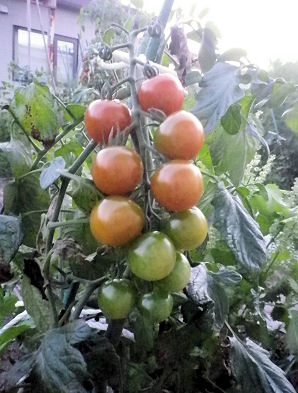 0923_数珠トマト.jpg