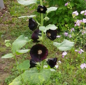0729_黒い花.jpg