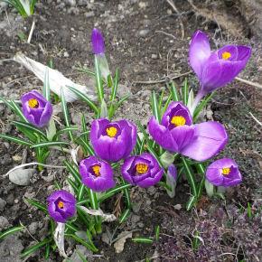 0423_紫クロッカス.jpg