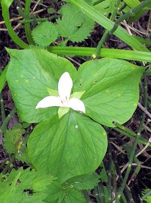 0531_三角な白い花.jpg