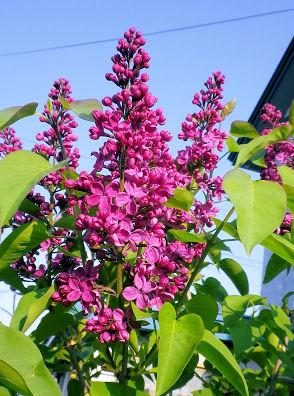 0531_赤い花の木.jpg