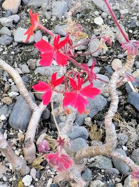 0531_小さい赤い花2.jpg