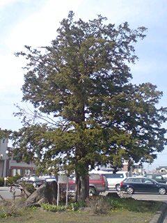 P04イチイの木.jpg