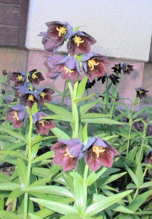 P14黒ユリの花.JPG