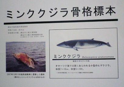 0807_ミンククジラ標本.jpg
