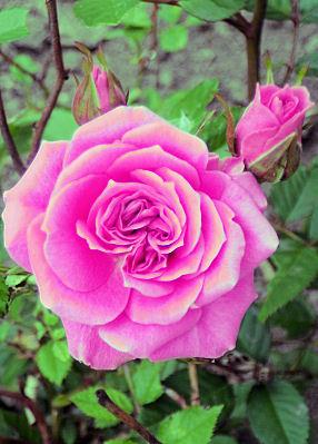 0702_薔薇の花.jpg