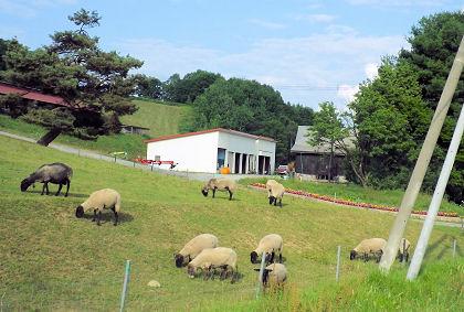 0730_士別サフォーク羊.jpg