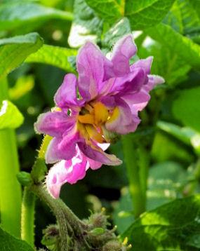 0629_ジャガイモの花.jpg