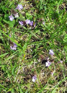 0531_小さい青い花.jpg